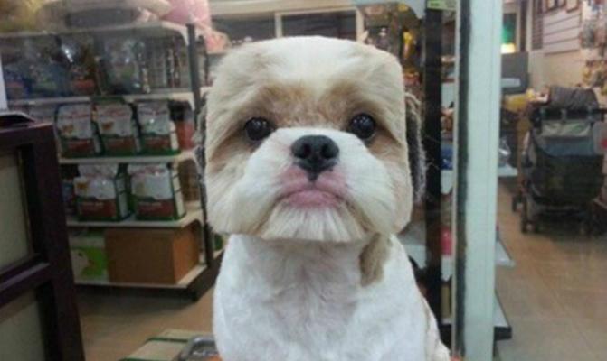 Este perro tiene el pelo de su cabeza cortado de forma cuadrada para darle un aire diferente / siam55.com