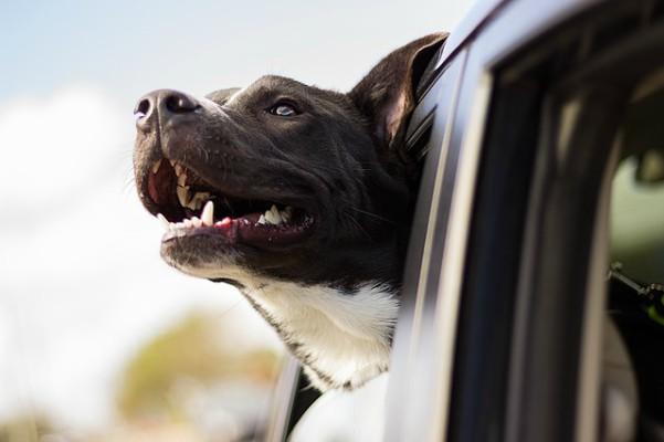 Los perros disfrutan del aire que entra por la ventanilla del coche gracias a su capacidad olfativa.