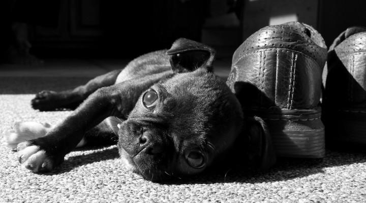 Cuidado con los zapatos o se convertirán en el juguete favorito del cachorro.