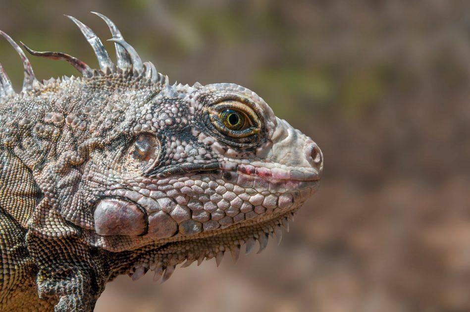 La iguana, uno de los animales exóticos con interesantes curiosidades