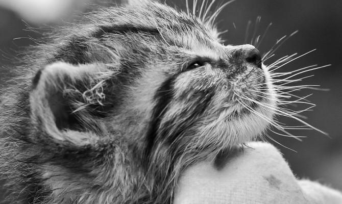 ronroneo de gatos