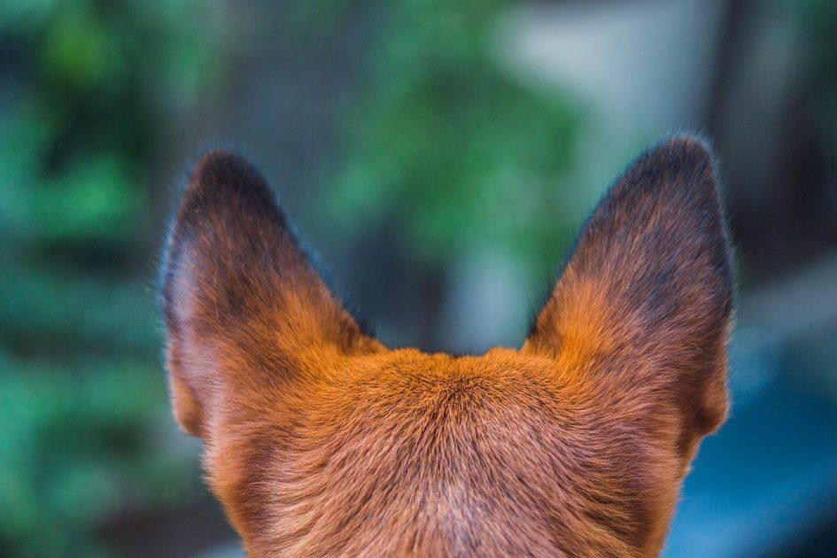 El oído del perro