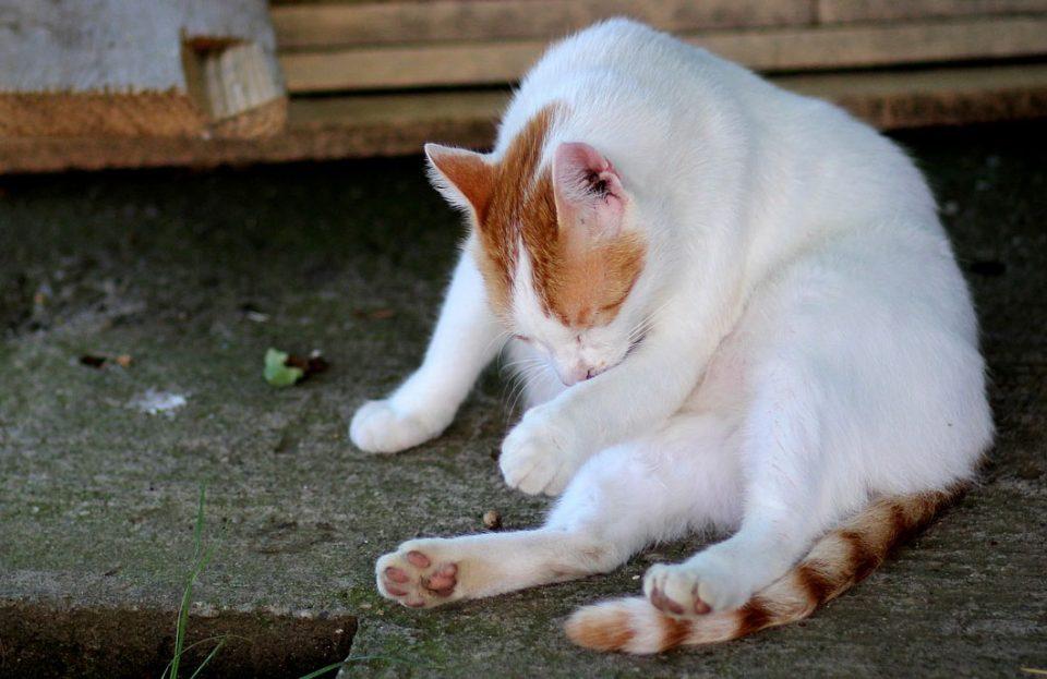 Cómo cepillar a un gato