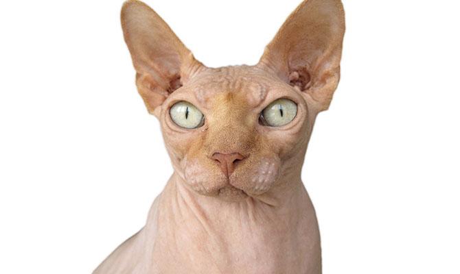El pelo del gato: Sphynx