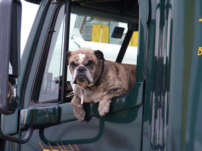 Mascota que puedes llevar en un camión